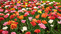 Tulip festival at Keukenhof Gardens in Lisse, Netherlands. Image taken with a Leica X2 camera.