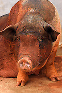 A fat, red sow, female pig in a village street, Xu Wen, Guangdong province, China