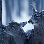 Whitetail Deer, (Odocoileus virginianus) Three-legged buck and doe browsing on lichen.