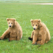 Alaskan Brown Bear, (Ursus middendorffi) Cubs sitting on rumps, cute. Katmai National Park. Alaska.