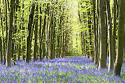 Bluebells in Philipshill Woods, Chorleywood
