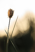 Cottongrass (Eriophorum) | Myrull