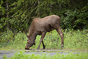 Moose calf on edge of forest