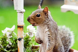 A Grey Squirrel with a small nut in hi mouth forages for food in a Brritish suburban garden <br /> <br />  Copyright Paul David Drabble<br />  29 September 2019<br />  www.pauldaviddrabble.co.uk A Grey Squirrel (Scientific name Sciurus Carolinensison) hides peanuts from in a plant pot in British Suburban Garden