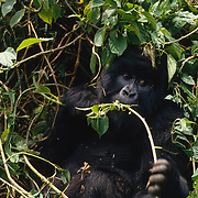 Female mountain gorilla foraging in Volcanoes National Park Rwanda, Africa.