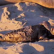 Northern Elephant Seal, (Mirounga angustirostris) Young baby on back playing. California.
