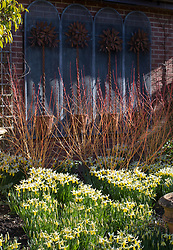 Narcissus 'Trena' AGM growing at the base of cornus in John Massey's garden at Ashwood Nurseries.