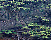 Cypress grove, Pfeiffer Beach, Pfeiffer Big Sur State Park, California  2003