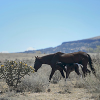 A horse and her foal wander through San Fidel looking for water and food, Wednesday.