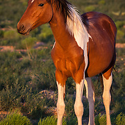 Low light of sunset brings out the beauty in this young Mustang, Sandoval County, NM