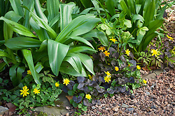 Ranunculus ficaria (celandine) with colchicum foliage