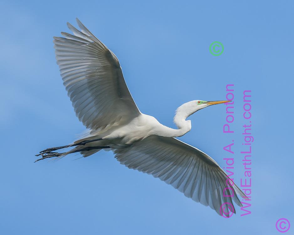 Great egret in flight, blue sky, Florida, © David A. Ponton