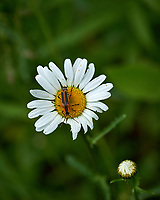 Daisy wildflower with a bug. Backyard spring nature in New Jersey. Image taken with a Fuji X-T2 camera and 90 mm f/2 lens (ISO 200, 90 mm, f/4, 1/850 sec).