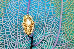Cyphoma gibbosum, Flamingozunge auf Gorgonie, flamingo tongue snail on Gorgonia, Insel Tortola, British Virgin Islands, Britische Jungferninsel, Karibik, Karibisches Meer, Tortola Island, British Virgin Islands, BVI, Caribbean Sea