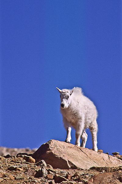 Mountain goat (Oreamnos americanus) A young kid on the alpine tundra.  Mount Evans, Colorado.