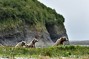 A family of brown bears rest in a wildflower field at the McNeil River State Game Sanctuary on the Kenai Peninsula, Alaska. The remote site is accessed only with a special permit and is the world's largest seasonal population of brown bears in their natural environment.