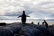 gentoo penguins    GOUDIER island - Antarctica  Pygoscelis papua.///.manchots papous   ile GOUDIER - Antarctique .///.ANTAR059