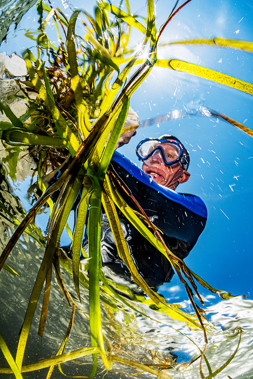 A volunteer with The Nature Conservancy collects shoots of eelgrass (Zostera marina) with seeds as part of the world's largest seagrass restoration project lead by the Virginia Institute of Marine Science (VIMS) in Virginia, USA.