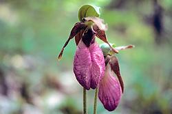 Moccasin Flower
