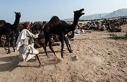 """© Licensed to London News Pictures. 21/11/2012. Pushkar, India. An Indian camel trader struggles with his out-of-control camel at the Pushkar Camel Fair in Rajasthan, India. The Pushkar Fair, or Pushkar ka Mela, is the annual five-day camel and livestock fair, held in the town of Pushkar in the state of Rajasthan, India. It is one of the world's largest camel fairs, and apart from buying and selling of livestock it has become an important tourist attraction and its highlights have become competitions such as the """"matka phod"""", """"longest moustache"""", and """"bridal competition"""".  Photo credit : Richard Isaac/LNP"""