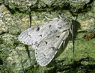 The Miller Acronicta leporina Length 20mm. An attractive moth with understated markings and a slightly powdery look to its wings. Rests with its wings held in shallow tent-like manner. Adult forewing ground colour is usually pale grey but sometimes darker; there are scattered black dots and jagged markings. Flies April–June. Larva is pale green and covered in long white hairs; feeds on deciduous trees, particularly birches. Widespread but commonest in southern and central Britain.