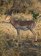 Impala in  Kruger NP, South Africa
