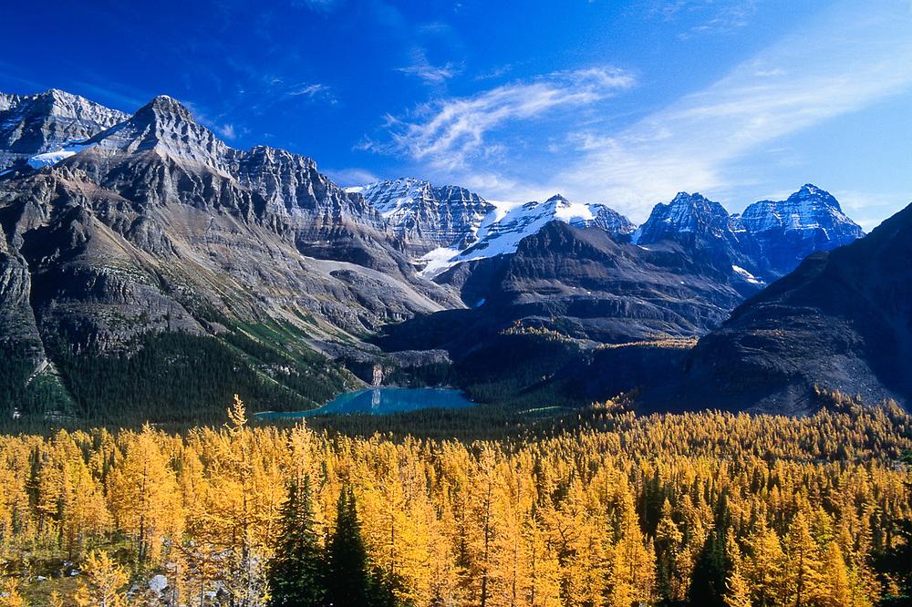 Autumn larch trees, Lake O'Hara, Yoho National Paek, Alberta, Canada