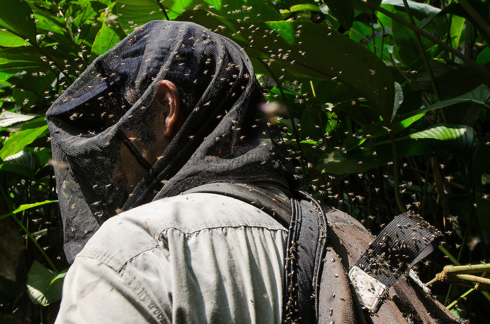 Gorilla tracking & sweat bees (Guillem Molina)<br /> Ngaga forest<br /> Republic of Congo (Congo - Brazzaville)<br /> AFRICA
