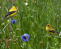 American Goldfinch and Partner (or Junior) Feasting on the Bachelor Button Flowers. Image taken with a Fuji X-T1 camera and 100-400 mm OIS lens
