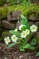 Primula vulgaris - Primrose - growing at the base of an informal stone wall in the woodland garden
