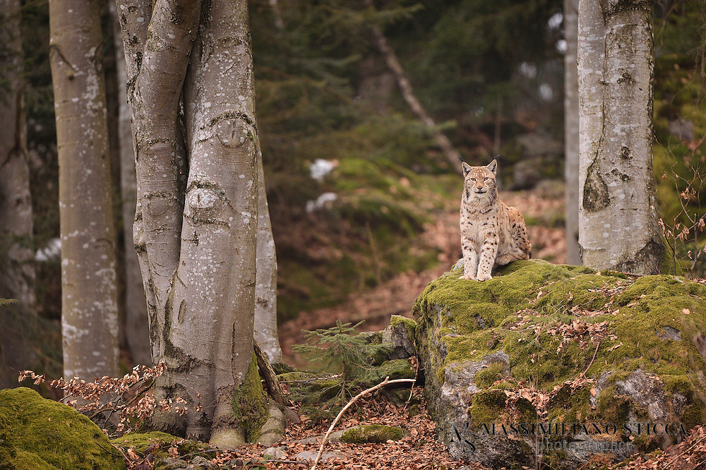 """The Eurasian lynx (Lynx lynx) is a medium-sized cat native to European and Siberian forests, Central Asia and East Asia. It is also known as the European lynx, common lynx, the northern lynx, and the Siberian or Russian lynx. While its conservation status has been classified as """"Least Concern"""", populations of Eurasian lynx have been reduced or extirpated from western Europe, where it is now being reintroduced"""