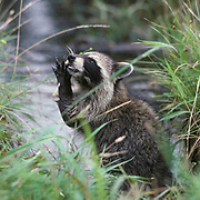 Raccoon, (Procyon lotor) Young coon  eating food it has found along the bans of Midway River