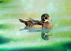 A wood duck swims in green grassy waters. The Wood Duck or Carolina Duck is a species of perching duck found in North America. It is one of the most colorful North American waterfowl.<br />