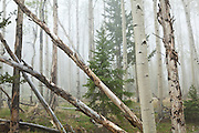 Mixed aspen and conifer forest in fog, Lost Creek Wilderness, Colorado.
