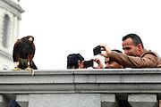 © Licensed to London News Pictures. 13/03/2012. London, UK. Tourists photograph Lizzie. Wayne Parsons flies Lizzie, aged 3, the American Harris Hawk in London's Trafalgar Square today. Wayne and Lizzie are employed by the Greater London Authority to control the pigeon population in the famous square. Lizzie was reared from birth by Wayne but not 'imprinted', meaning she retains her natural ability to hunt. Lizzie only catches 5 or 6 pigeons a year as the very site of her scares them away.  Photo credit : Stephen SImpson/LNP