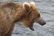 Brown (Grizzly) Bear with open mouth.(Ursus arctos horribilis).Katmai National Park, Alaska