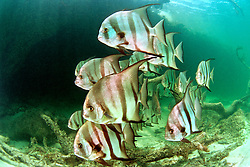Atlantic spadefish, .Chaetodipterus faber, .Sands Cut, Biscayne National Park, .Florida (Atlantic)