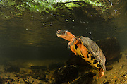 Wood Turtle (Glyptemys insculpta)<br /> CAPTIVE<br /> The Orianne Indigo Snake Preserve<br /> Telfair County, Georgia<br /> USA<br /> HABITAT & RANGE: Wood Turtle (Glyptemys insculpta) swimming underwater<br /> CAPTIVE<br /> USA<br /> HABITAT & RANGE: Near streams and rivers form Nova Scotia to Minnesota and Virginia.<br /> ENDANGERED SPECIES