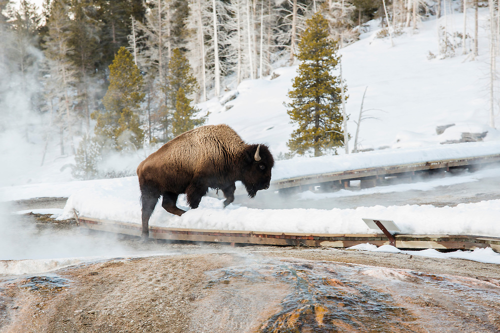 Bison crossing the boardwalk in the Upper Geyser Basin, Yellowstone National Park