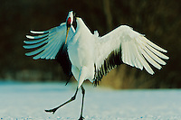 A red-crowned cranes, or Japanese crane (Grus Japonensis), engaged in a courtship dance.