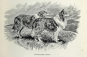 Rough-Coated Collies From the book ' Royal Natural History ' Volume 1 Section II Edited by  Richard Lydekker, Published in London by Frederick Warne & Co in 1893-1894