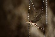 Mayfly caught in the sticky silk threads from the larvae of the fungus gnats (Arachnocampa luminosa). The larvae will pull up the silk to eat the mayfly. Glowworm cave near Waitomo Cave, New Zealand. Close to Te Kuiti. | Die mit klebrigen Sekrettröpfchen versehenen Fangfäden der Pilzmückenlarven (Arachnocampa luminosa) sind stabil genug, um eine Eintagsfliege festzuhalten. Die an der Höhlendecke in ihrem Netz kriechende Larve wird anhand der Vibrationen den richtigen ihrer bis zu 60 herabhängenden Fangfäden lokalisieren und ihre Beute Stück für Stück nach oben ziehen.<br /> Arachnocampa luminosa ist eine von etwa 3000 Pilzmückenarten weltweit und lebt an feuchten, dunklen Stellen (Höhlen und Überhänge) in Neuseeland. Die Waitomo Cave und Höhelsysteme nahe der Ortschaft Te Kuiti sind bekannt für die leuchtenden Larven.