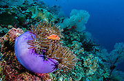 Pink Anemonefish (Amphiprion perideraion) & Magnificent Sea Anemone (Heteractis magnifica)<br /> Raja Ampat<br /> West Papua<br /> Indonesia