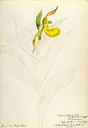 """Sketchbook 3 - Water-color sketches of plants of North America and Europe [graphic], Painted between June 1888 to September 1910 by Helen Sharp. Eighteen albums of water-color sketches by Helen Sharp of flowering plants and shrubs common to the United States, especially New England, as well as to Bermuda and parts of Europe, dated between June 1888 and Sept. 1910. Sketches in water-color and ink on paper (26 x 18 cm. or smaller) include botanical captions in Latin, along with Sharp""""s notes on the common name and physical characteristics of each plant, and location and date of drawing. There is also a table of contents at the front of each sketchbook. The first 16 albums contain sketches of plants common in New England, in towns of Massachusetts such as Nantucket, Taunton, Boston, No. Andover, Marblehead, Hingham, Gloucester; Maine (York, Sorrento); New Hampshire (Surrey), and Connecticut. Volume 17 contains sketches of plants made by the artist while traveling in Switzerland, Italy, England, and France, while v. 18 contains sketches of tropical fruits and flowers of Bermuda, completed during Sharp""""s visits of 1892, 1893, and 1903."""