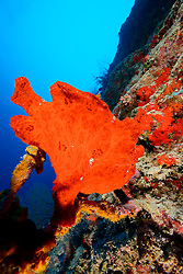 Antennarius commersonii, commersoni, Roter Riesen Anglerfisch,  Red Giant or Commerson Frogfish, Malediven, Indischer Ozean,  Ari Atoll, Maldives, Indian Ocean