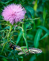 Praying Mantis With an Eastern Tiger Swallowtail for Sunday Brunch. Sourland Mountain Preserve. Summer Nature in New Jersey. Images taken with a Nikon D810a camera and 300 mm f/4 lens.
