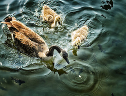 This goose and baby goslings are sharing food while swimming around the docks at Maynard's on Lake Minnetonka.