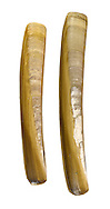 Ensis arcuatus Length to 15cm. A razorshell, in life found buried in coarse sand. Empty shells sometimes wash up intact. Widespread in Britain but commonest in west and north.