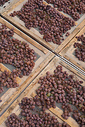 Fresh grapes are laid on mats to begin the drying process known in Italy as appassimento, which results in concentrated sugars ideal for dessert wine winemaking.