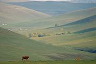 Landscape with cows Bayanbulagu Gatcha, grassland steppe, Inner Mongolia, China